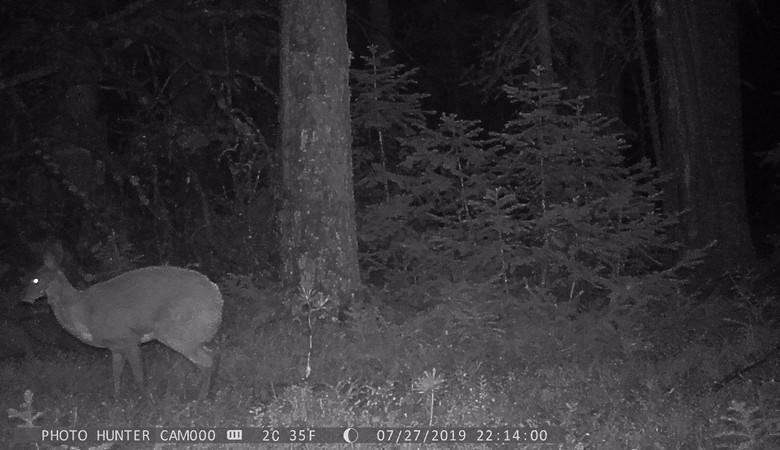 Фотоловушки запечатлели самца кабарги в Катунском заповеднике