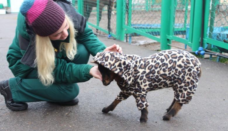 Козлик Федя из красноярского зоопарка оказался модником