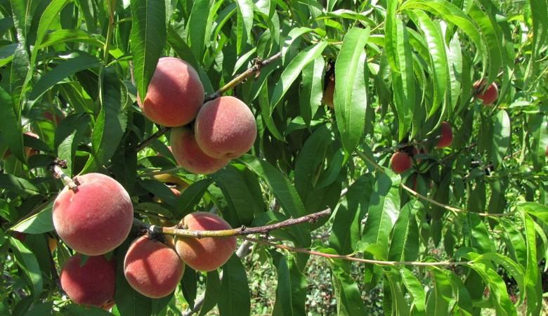 Персиковое дерево появилось на Земле раньше человека