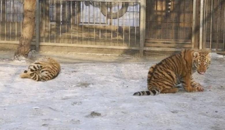 Видео обедающих тигрят в зоопарке Барнаула за сутки набрало 200 тысяч просмотров