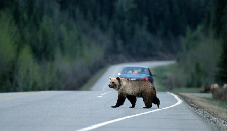 Водитель грузовика сбил медведя на трассе в Кузбассе