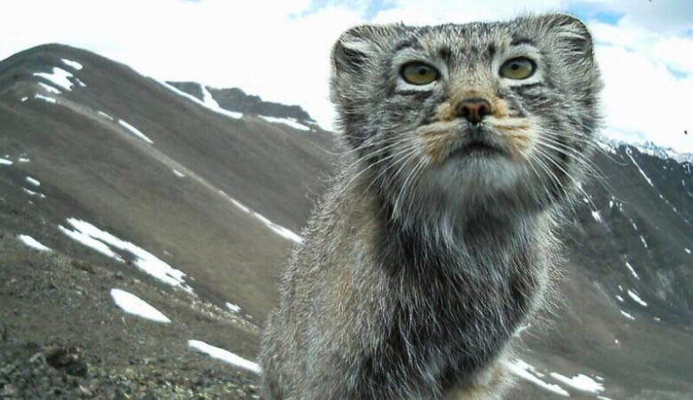 На Алтае впервые сфотографировали самку снежного барса с четырьмя котятами