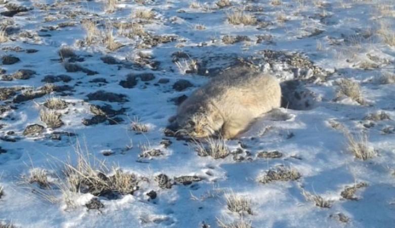 На Алтае на инспектора парка пытался напасть дикий кот-манул