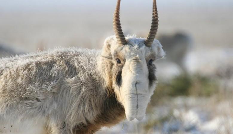 Более 70 сайгаков убил браконьер в Казахстане