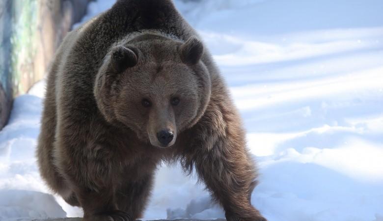 Медведи в лесах Алтайского края не торопятся просыпаться, несмотря на наступившую оттепель