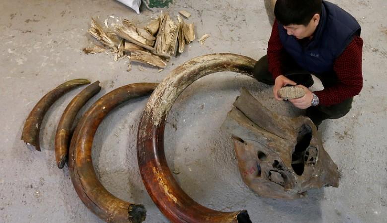 В Приморье задержали партию бивней мамонта стоимостью более 340 млн рублей