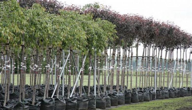 В Красноярске высадят 25 тысяч деревьев