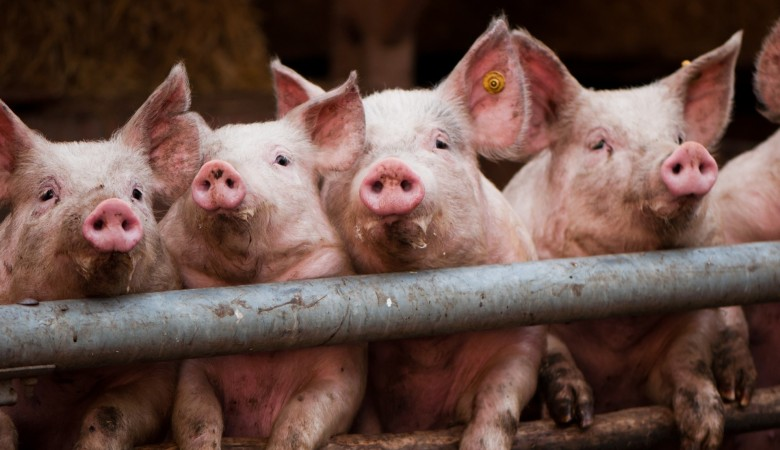 Вкрае сложилась угроза занесения вируса африканской чумы свиней