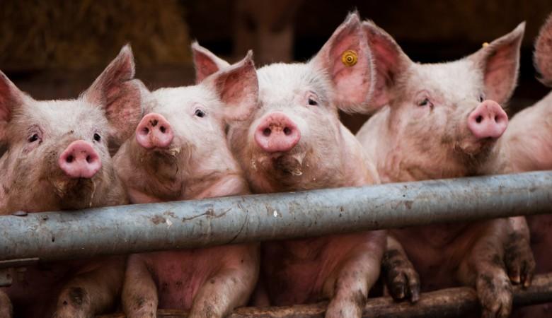 Под Красноярском уничтожили 1,5 тыс. свиней из-за африканской чумы