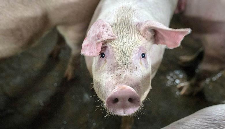 АЧС не затронет крупные свинокомплексы Омской области — эксперт