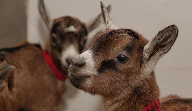 В горах Тувы начали разводить альпийских коз