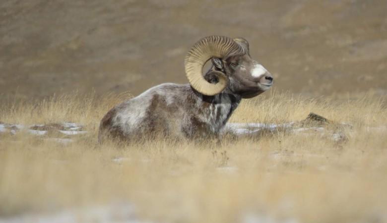 Популяция краснокнижного горного барана на Алтае достигла 1,2 тыс. особей