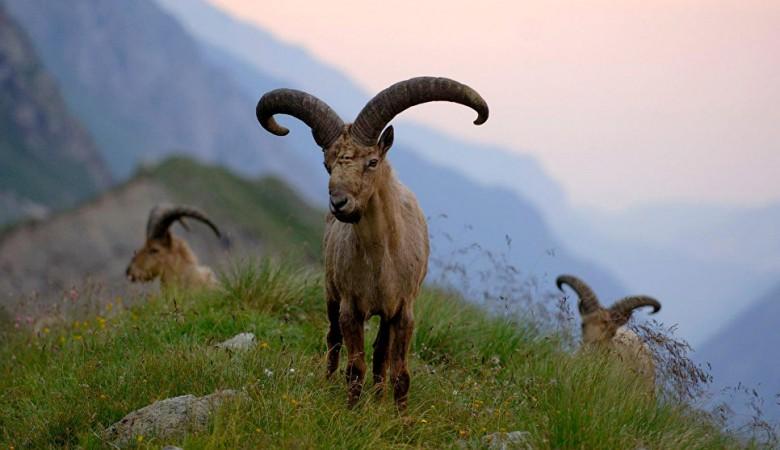 На Алтае посчитают краснокнижных горных баранов, перебегающих границу с Монголией