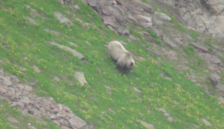 На территории Байкальского заповедника обнаружен бурый медведь соломенного цвета