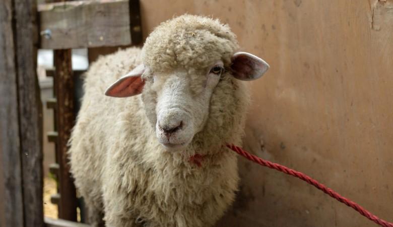 Поезд сбил 17 отбившихся отстада овец вКрасноярском крае