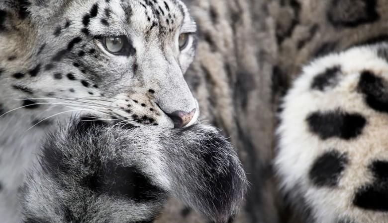 Снежным барсам на Алтае выдадут паспорта
