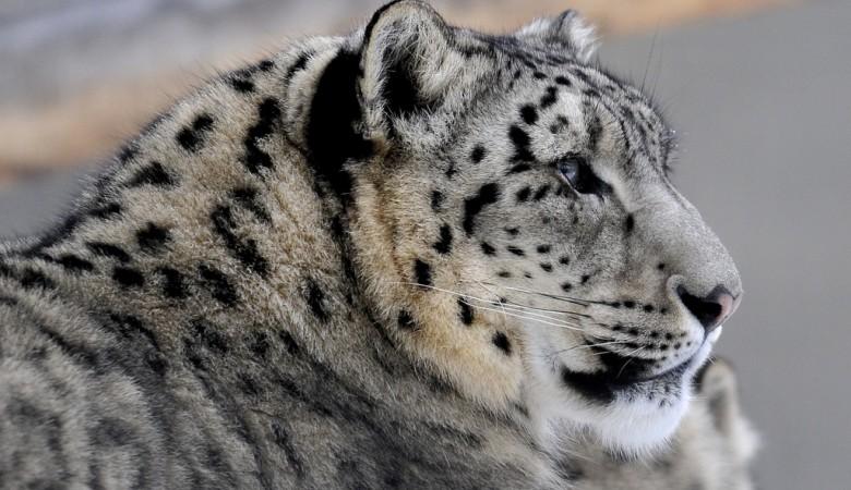 На Алтае найдены новые места обитания снежного барса
