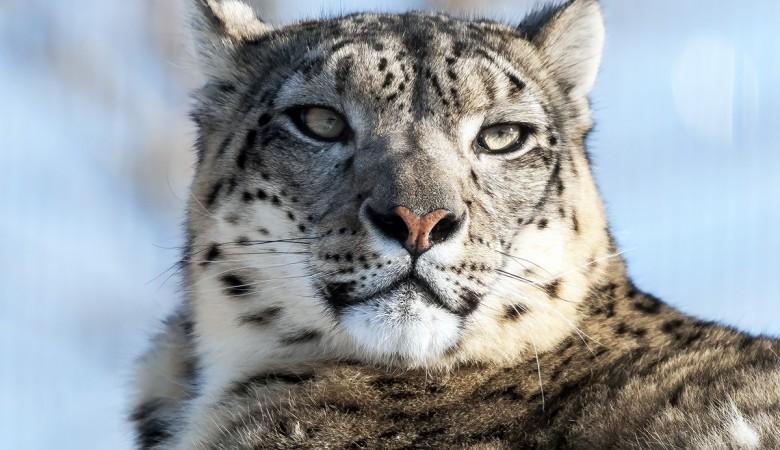 На алтайском плато Укок остался всего один снежный барс, но найдено много туристов на джипах