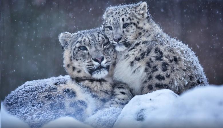 WWF ставит в Туве сигнальные огни, чтобы оградить скот от нападений снежных барсов
