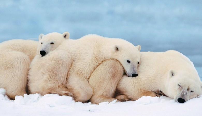 На Чукотке обнаружено скопление из 230 белых медведей