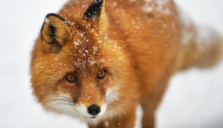 В Бурятии зафиксирован случай бешенства среди диких животных, введен карантин