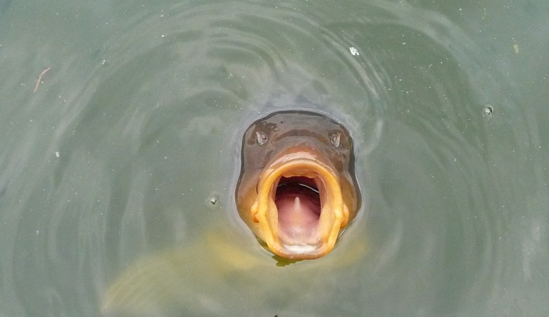 У рыбозаводчика в Хакасии сиговые и карповые не проходили медосмотр