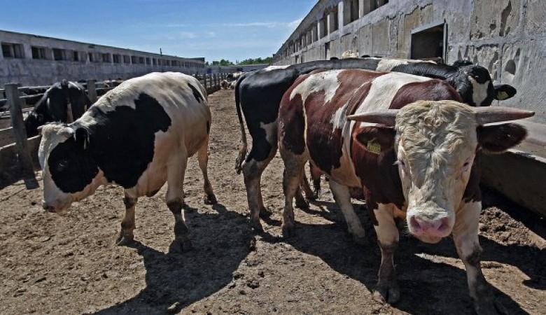 Китайцы построят в Бурятии лабораторию по сексированию семени быков