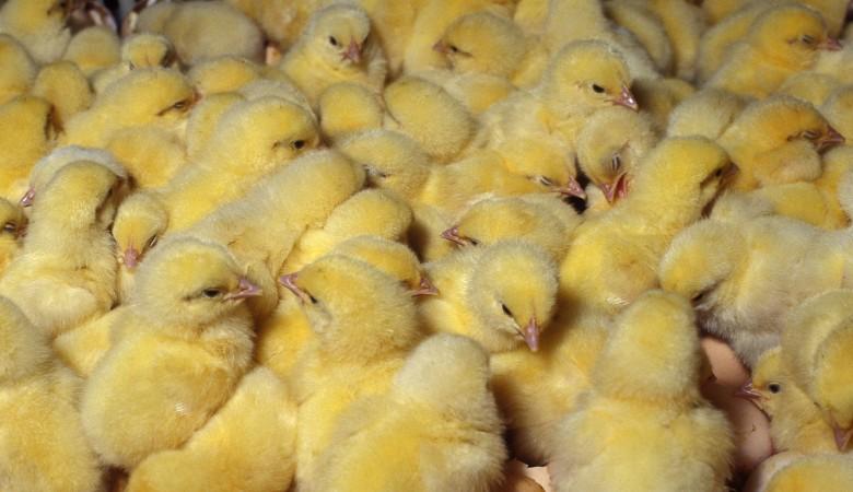 Около 12 тыс. цыплят задохнулись при пожаре на новосибирской птицефабрике