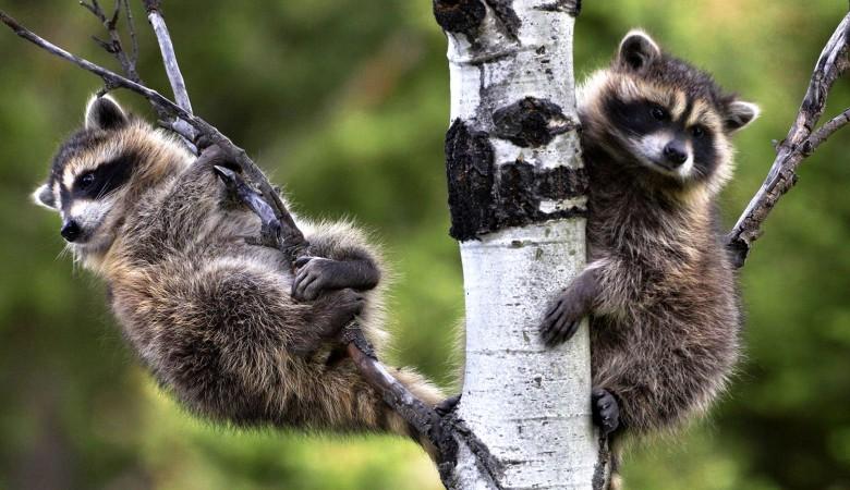 Домашняя кошка в Новосибирском зоопарке стала приемной мамой для маленьких енотов