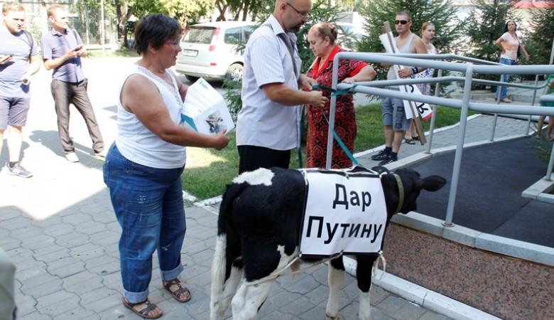 Омские фермеры подарили Путину теленка, которого нечем кормить