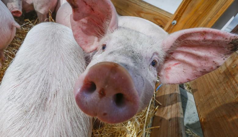 Ссамого начала эпидемии чумы вОмской области уничтожено 20 000 свиней