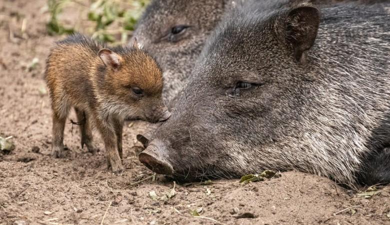 В зоопарке Новосибирска родились поросята размером с ладошку