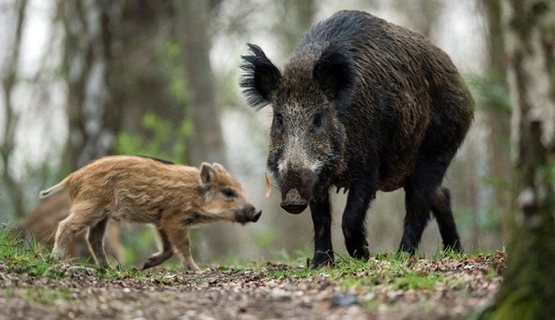 Дикие кабаны в Омской области пока не успели подхватить африканскую чуму свиней