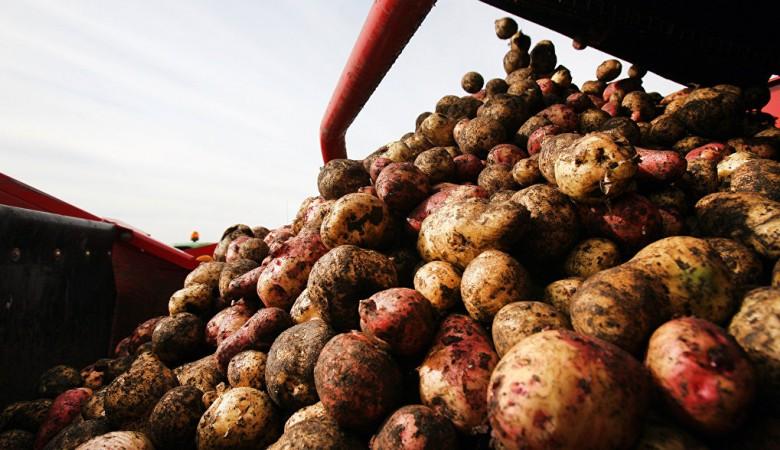 Новосибирские и китайские ученые займутся созданием новых сортов картофеля