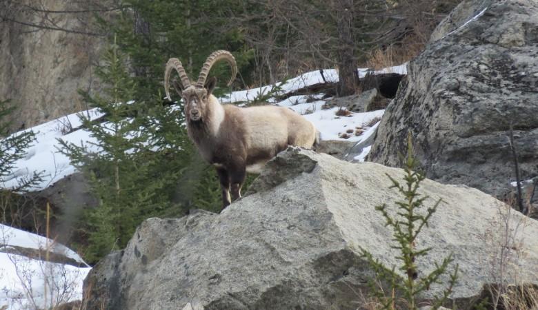Сибирский горный козел, избегающий людей, согласился на 20-минутную фотосессию на Алтае