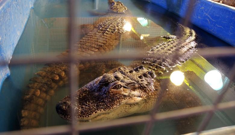 В России запретят держать дома крокодилов, волков, лис, антилоп, обезьян и акул