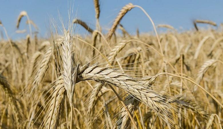 Омская область увеличила урожай зерновых при сокращении посевных площадей