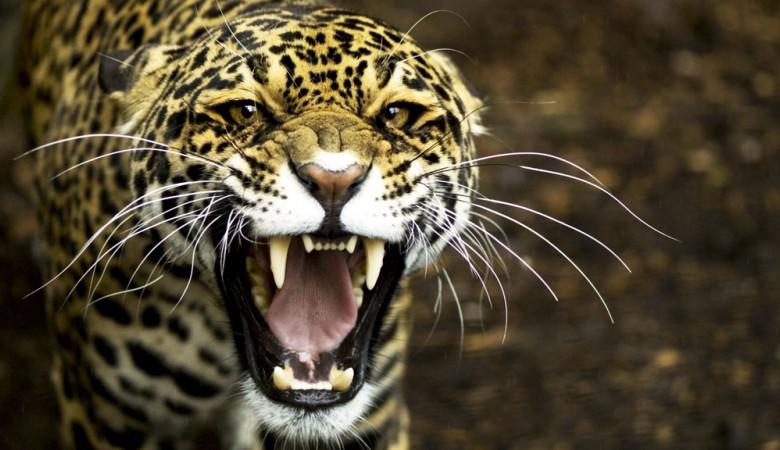 Леопард напал назрительницу вкрасноярском цирке впроцессе выступления