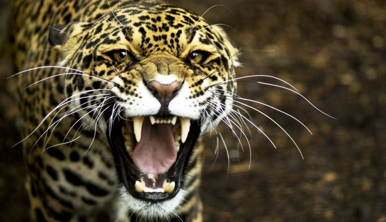 Леопард напал наженщину вцирке вКрасноярском крае