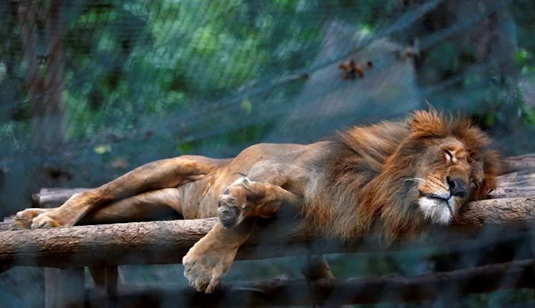 Во дворе частного дома в Иркутске найден истощенный лев, выигранный узбеком в карты