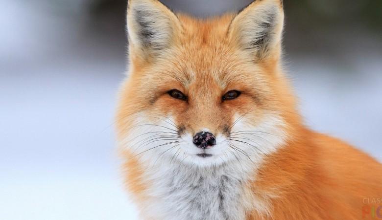 В Бурятии отстрелили 500 лисиц и 340 волков