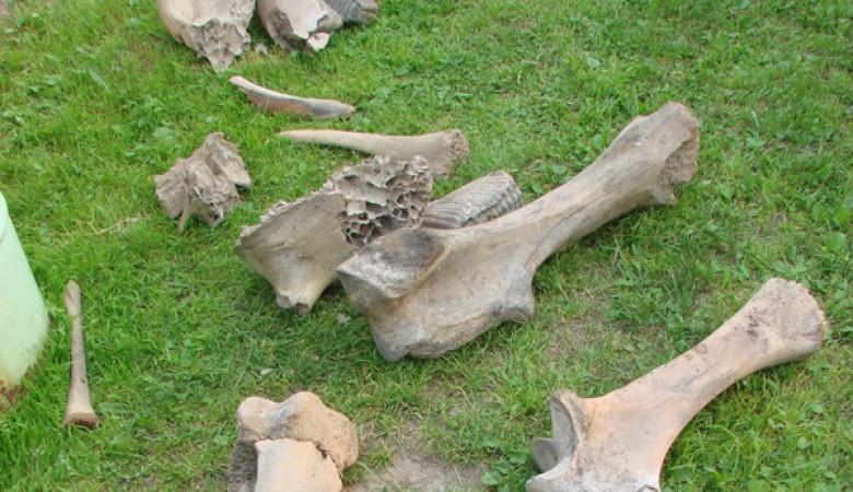 Кости мамонтов обнаружены на дачном участке под Томском при рытье котлована