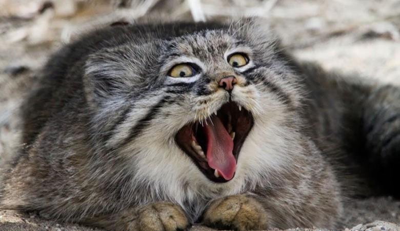 Алтайские манулы обошли фотоловушки, но ученые все равно их посчитали