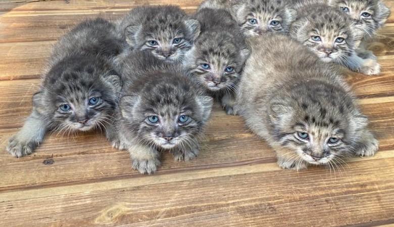 В Новосибирском зоопарке родились 16 манулов