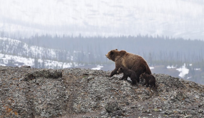 Полиция застрелила медведя-шатуна, задравшего пенсионера в Иркутской области