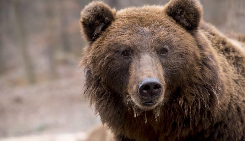 Медведь, убивший человека, застрелен в Красноярском крае