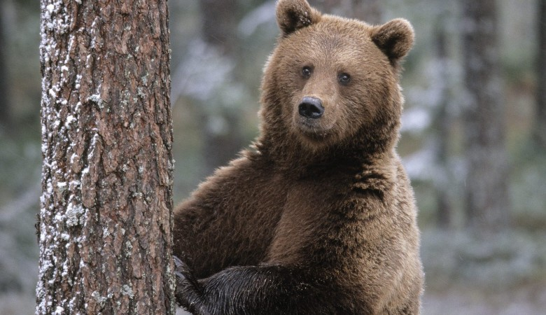 В Томской области медведь-электромонтер залез на трансформатор и умер от удара током