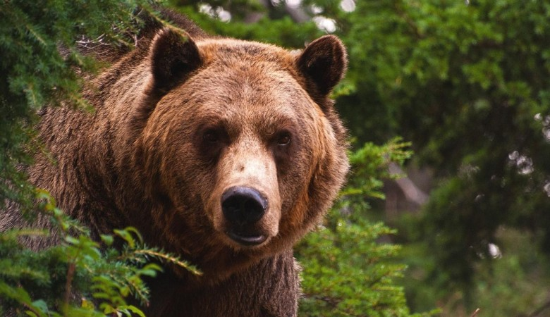 Взрывы на угольных разрезах Кузбасса выгнали медведей к людям