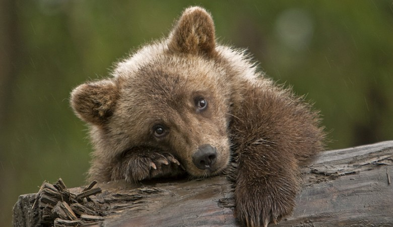 Медведя, качавшегося накачелях, увидели водном изгородов Томской области