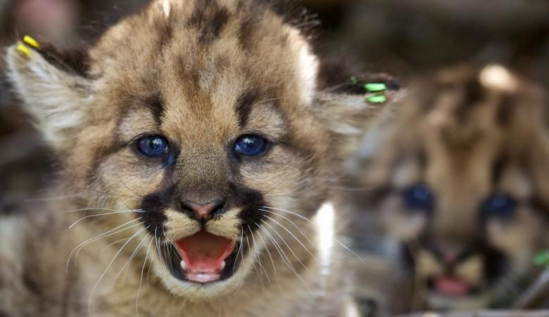 Барнаульский зоопарк опубликовал видео новорожденных львят